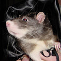 Rat Dressed as a Vampire
