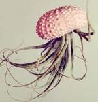 Jellyfish Plant